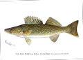 Denton Walleye 1896.png