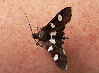 <i>Desmia</i> Genus of moths