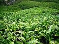Devikulam beautiful Tea Plantations - panoramio (2).jpg