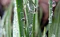 Dew (2312973278).jpg