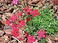 Dianthus deltoides 05.jpg