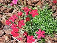 Dianthus deltoides 05