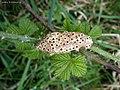Diastrophus rubi on Bramble Rubus fruticosus (25839078878).jpg