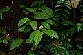 Dichapetalum gelonioides 4148.jpg