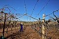 Die Mas vineyard, Wine Route, Upington, Northern Cape, South Africa (20532377282).jpg