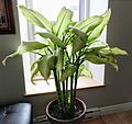 Dieffenbachia houseplant.jpg