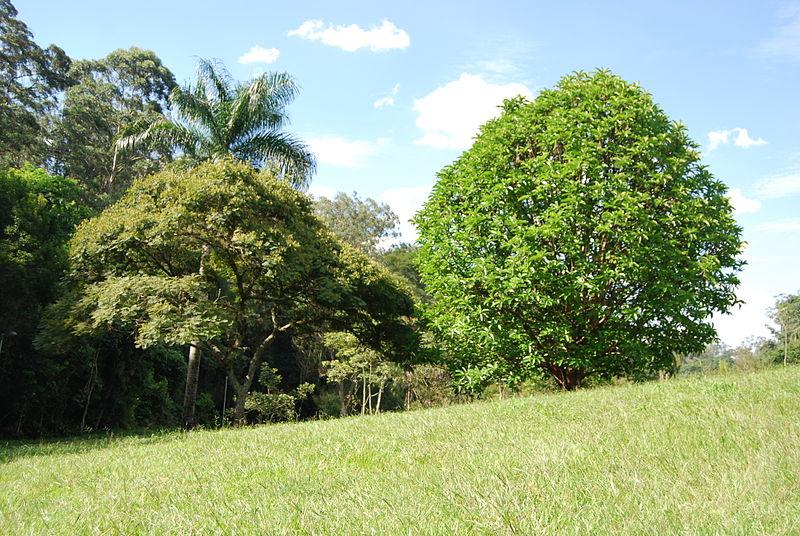 Ficheiro:Dillenia indica - Carmo's Park 3.JPG