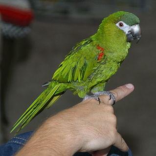 Red-shouldered macaw species of bird