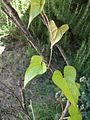Dioscorea Japonica (Yamaimo) 2.JPG