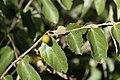 Diospyros chamaethamnus fruit MHNT.jpg