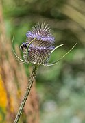 Dipsacus fullonum in Jardin des 5 sens (3).jpg