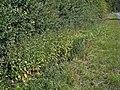 Dipsacus strigosus p;ant (01).JPG