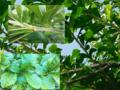 Disposition des organes photosynthétiques de Crescentia cujete (Bignoniaceae).png