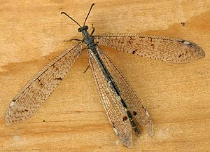 Antlion - Adult Distoleon tetragrammicus