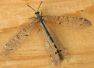 Antlion family of insects
