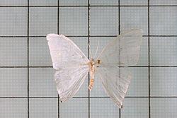三角白钩蛾