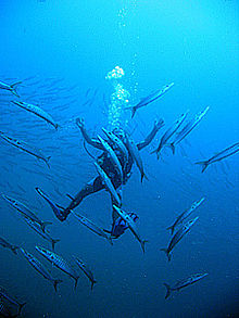 Diver in school of barracudas.jpg