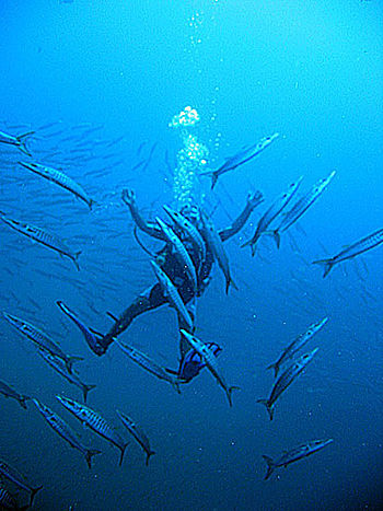 Scuba diver inside a group of sawtooth barracu...