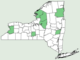 Dracocephalum parviflorum NY-dist-map.png