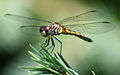 Dragonfly ran-387.jpg