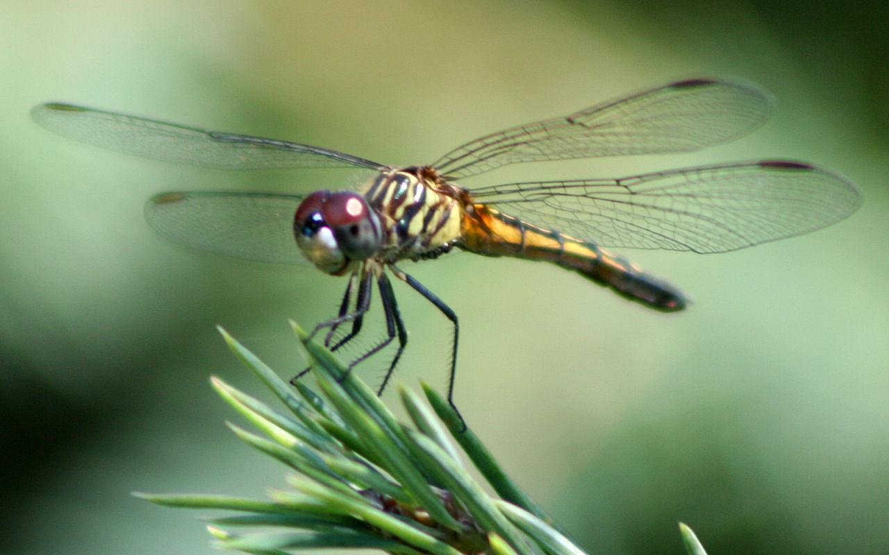 filedragonfly ran387jpg wikimedia commons