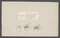 Drassus - Print - Iconographia Zoologica - Special Collections University of Amsterdam - UBAINV0274 068 06 0008.tif