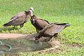 Drinking vultures in Gambia.jpg