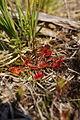 Drosera rotundifolia PID1864-2.jpg