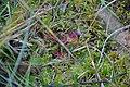 Drosera rotundifolia in natrual habitat.jpg