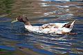 Duck 2 (3589096789).jpg
