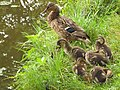Duck family in Park Yurigahara/百合が原公園カモの親子 - panoramio.jpg