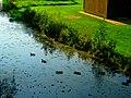Ducks In the Vilas Park Lagoon - panoramio.jpg