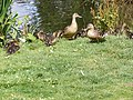 Ducks at the Southdowmn Ponds - geograph.org.uk - 1403145.jpg
