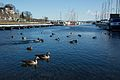 Ducks in Frognerkilen 0003.jpg