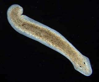 Planarian one of many flatworms of the Turbellaria class. It is also the common name for a member of the genus Planaria within the family Planariidae. Sometimes it also refers to the genus Dugesia