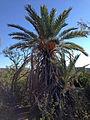 Dugout Ranch fig palm.JPG
