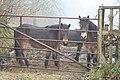 Dulverton, Exmoor ponies near Ashwick - geograph.org.uk - 85965.jpg