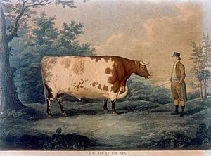 Limousin cattle - Etching by John Boultbee (1753–1812) of a famous example of Durham cattle, known as the Durham Ox. Shorthorn cattle were subsequently developed from Durham and Teeswater cattle.