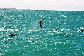 Dusky dolphin - Dusky dolphins at Kaikoura, New Zealand