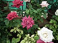 Dwarf Rose from Lalbagh flower show Aug 2013 8503.JPG