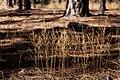 Dysphania graveolens - Flickr - aspidoscelis (1).jpg