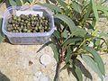 E langleyi leaves buds capsules 050127 01.jpg