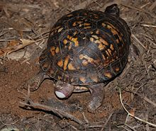 angled downward view of a turtle facing to the upper right as she squeezes out an egg out the back. There is a distended part of her body far behind her half covering the egg.