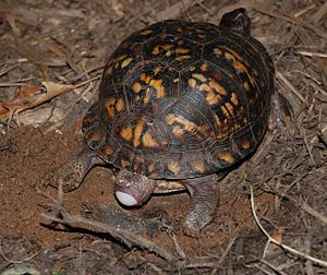 Common box turtle - Egg-laying