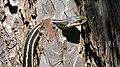 Eastern Garter Snake (Thamnophis sirtalis sirtalis) - MacGregor Point Provincial Park 03.jpg