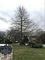 Eccleston Centenary Oak..jpg