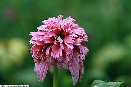 Echinacea Razzmatazz 1zz