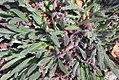 Echium vulgare 4zz.jpg