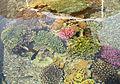Eilat UnderwaterObservatoryCorals 9877.JPG
