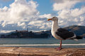 El pollo guardián de alcatraz (4747935324).jpg